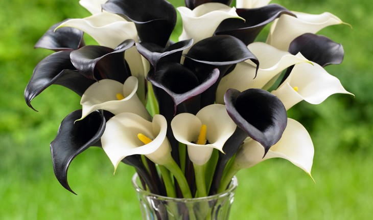 'Night Cap' and 'Crystal Clear,' Calla Lilies