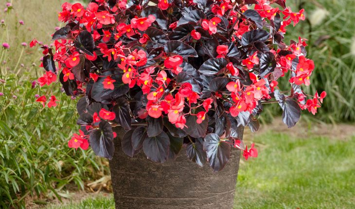 Begonia in container
