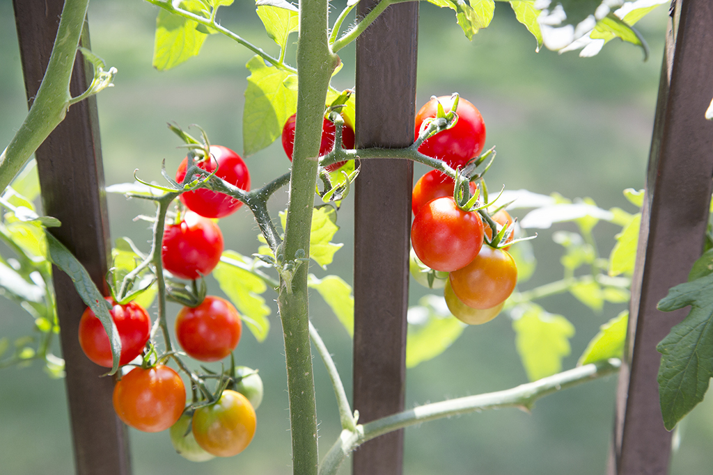 Tomatoes on a vine in a garden