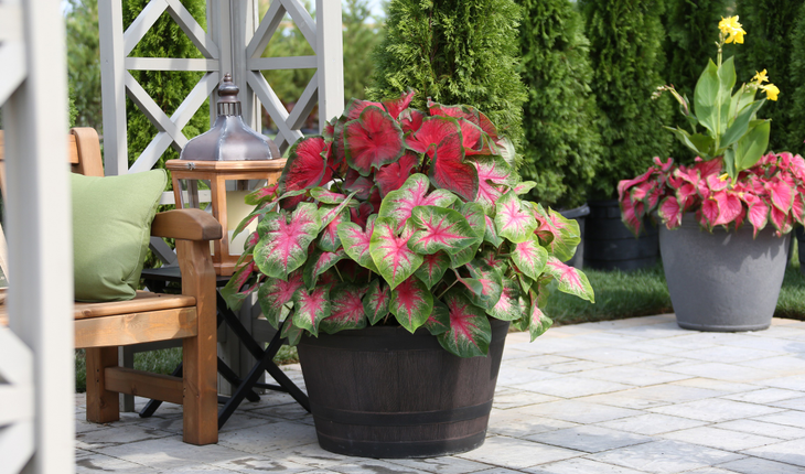 caladiums-in-container_photo-credit_longfield-gardens-com