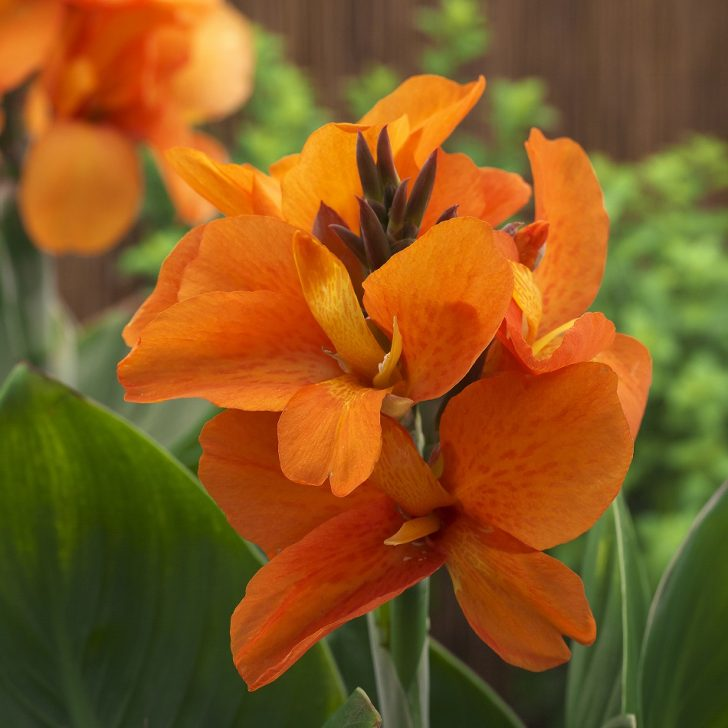 Canna_SouthPacificOrange_AmericanTakii_All America Selections