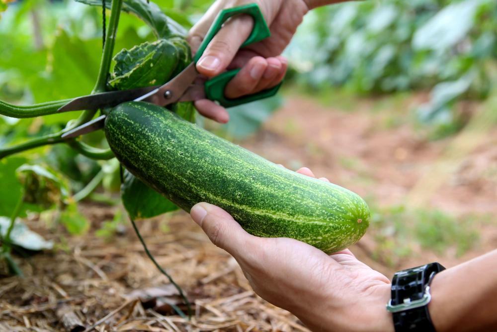 cucumbers-in-a-garden