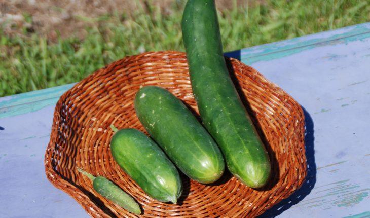 cucumbers_varied_sizes_2018_melinda_myers_llc