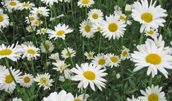 daisies-photo-credit-melinda-myers-llc