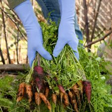 gloved hands pulling carrots