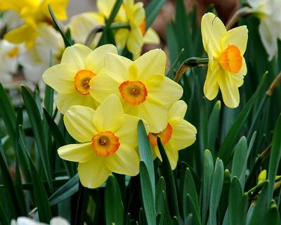 Daffodils-Melinda-Myers-article.jpg