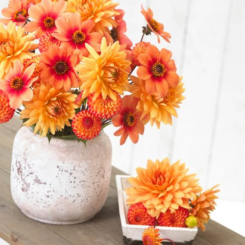 dahlia-soft-orange-mix-b-longfield-gardens