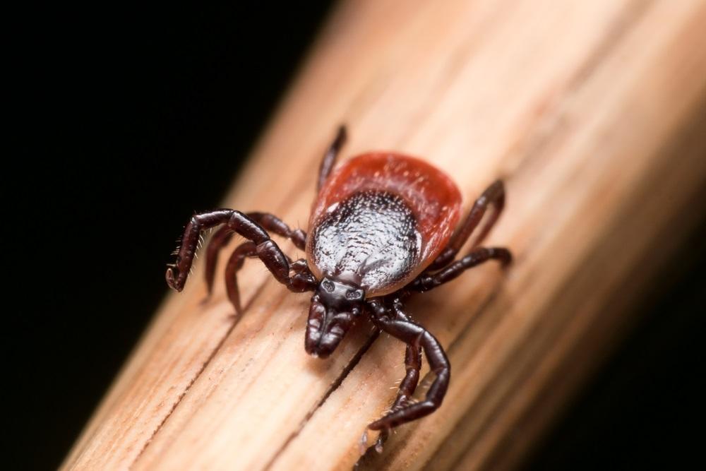 deer-tick-lyme-disease