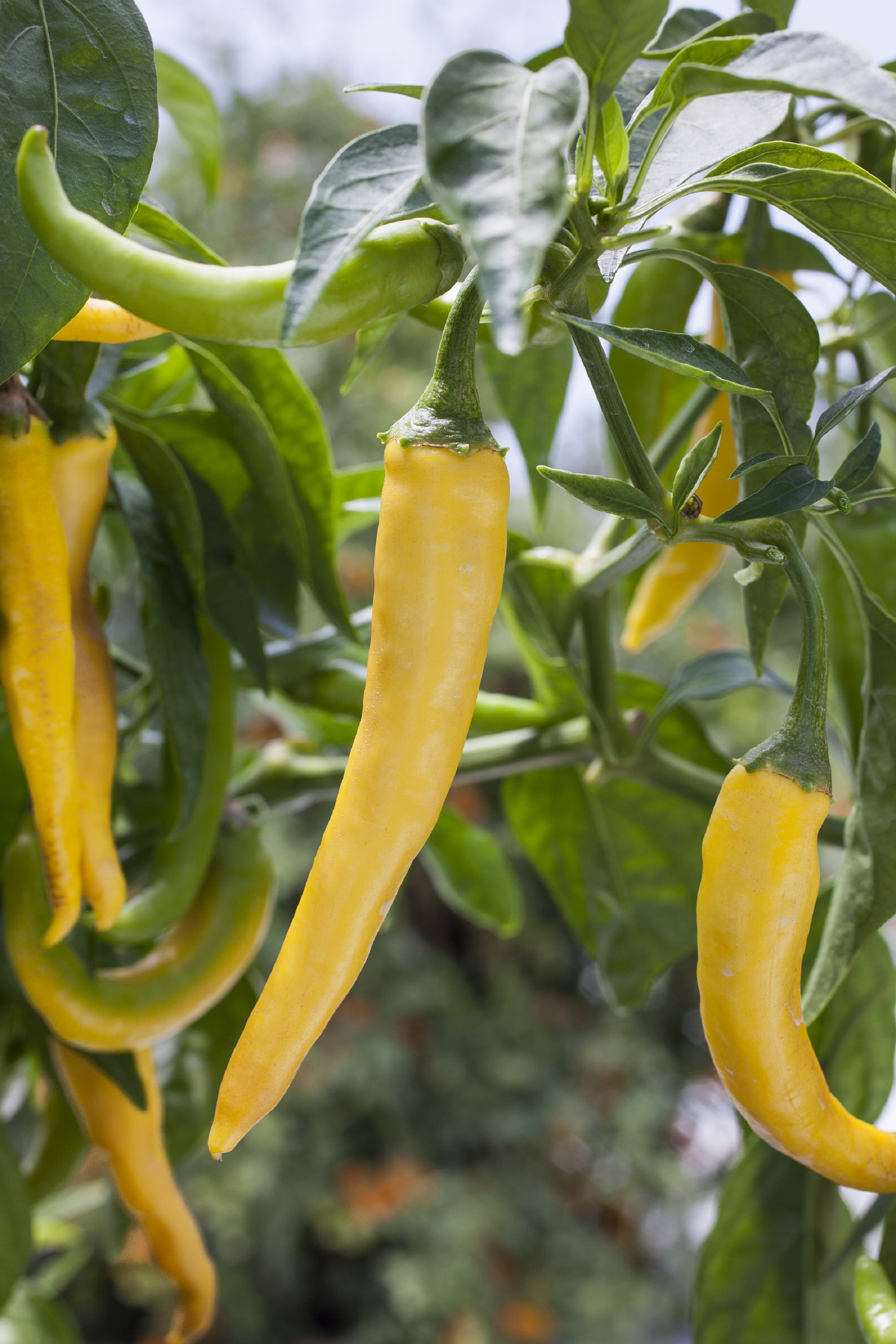 Golden cayenne peppers