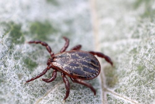 Lyme disease carrying tick