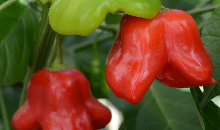 Mad Hatter Sweet Pepper Color Code: PAS Kieft 2018 Fruit on plant, Seed 09.16 McHenry, Mark Widhalm MadHatter01_02.JPG PEP16-21910.JPG