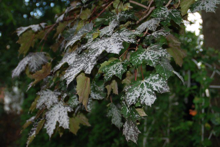powdery-mildew-photo-credit-melinda-myers-llc