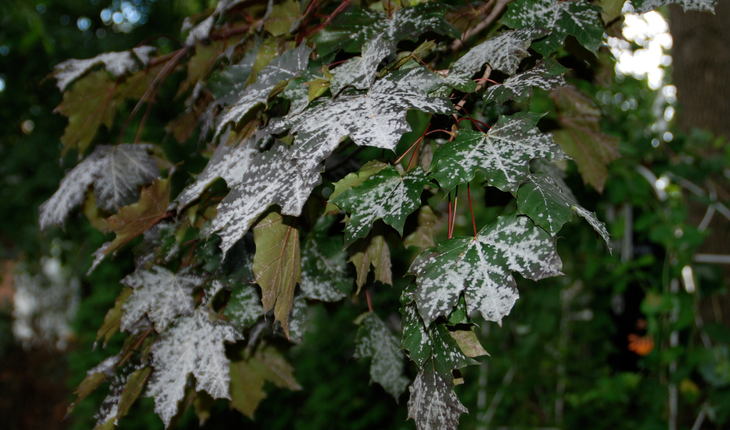 powdery-mildew-photo-credit-melinda-myers-llc
