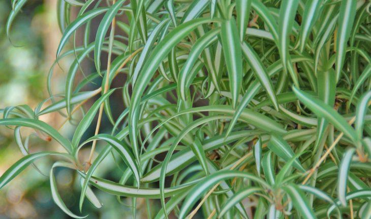 spider-plant_photocredit_melindamyersllc