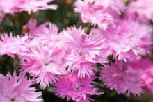 Supra Pink flowers