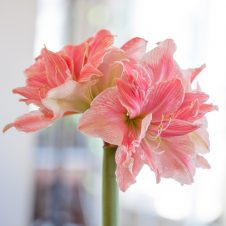 Sweet Nymph Amaryllis