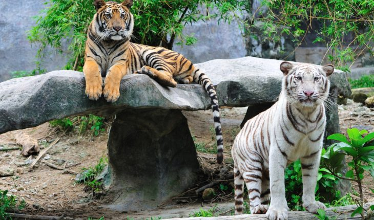 tigers-in-zoo