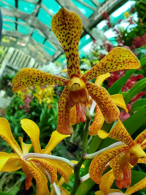 Saigon Zoo orchid