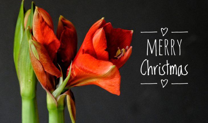 Merry Christmas amaryllis