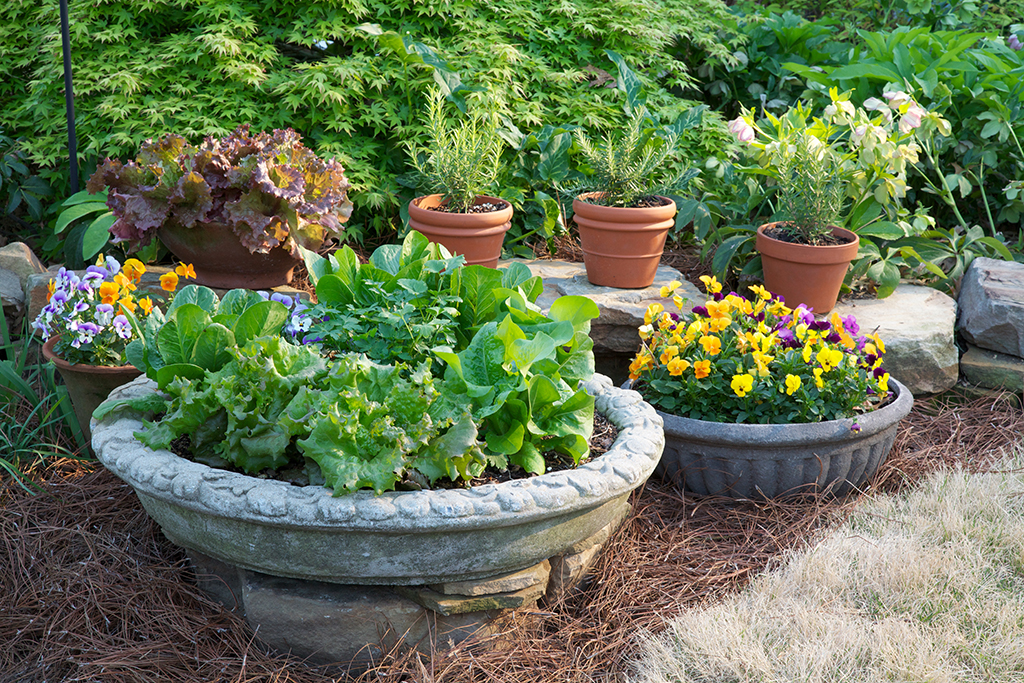 Lettuce and herb container in spring
