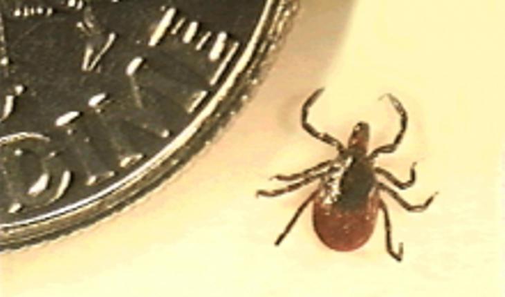 deer-tick