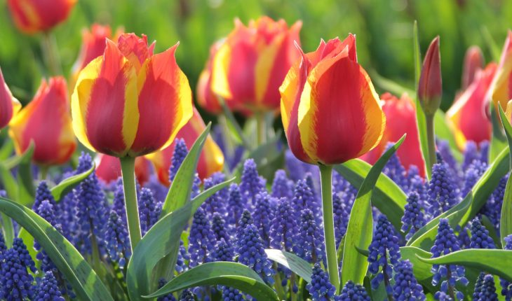 early-single-tulip-flair-with-muscari-armeniacum_lg