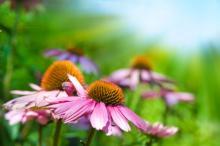 herbs-echinacea.jpg