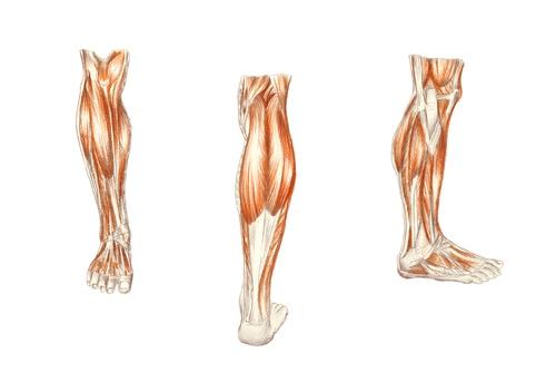 leg-muscle.jpg