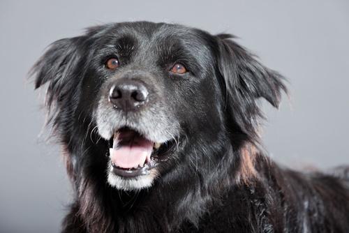 mature-dog