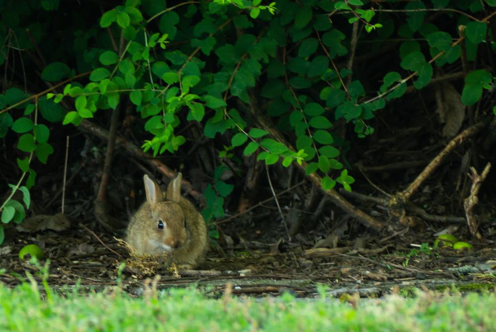 rabbit eating landscape