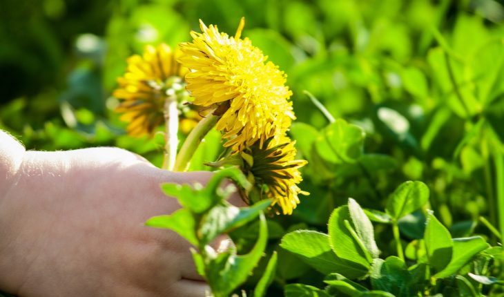 child picking dandelions